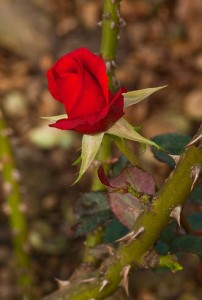 Rose with thorn